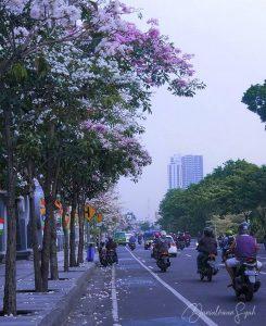 Bunga Tabebuya Surabaya IG 1