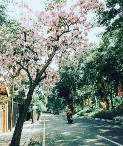 Bunga Tabebuya Surabaya IG 2