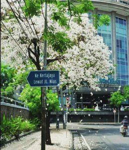 Bunga Tabebuya Surabaya IG 3