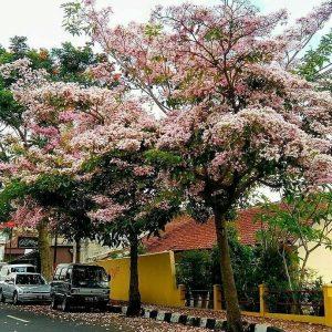 Bunga Tabebuya Surabaya IG 5