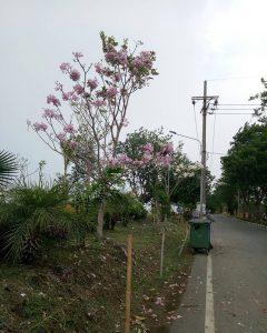 Bunga Tabebuya Surabaya IG 6